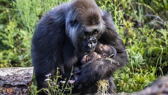 Ảnh xúc động mẹ con khỉ đột nhỏ tuổi nhất thế giới - Ảnh 1.