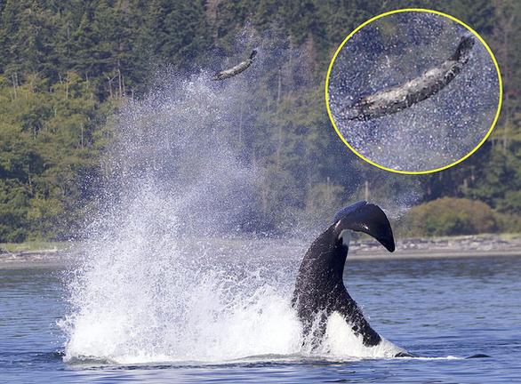 Bị cá voi sát thủ hất tung lên cao 13m, hải cẩu vẫn may mắn thoát được - Ảnh 1.