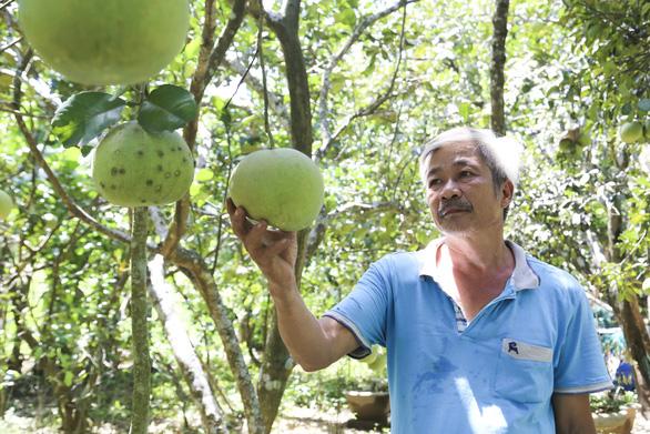 Bưởi thanh trà xứ Huế được mùa nhưng mất giá do dịch COVID-19 - Ảnh 2.