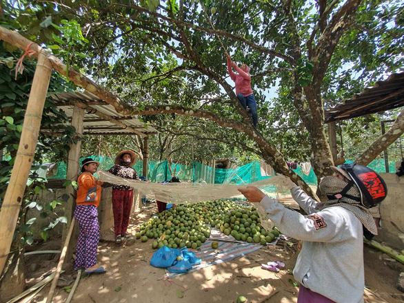 Bưởi thanh trà xứ Huế được mùa nhưng mất giá do dịch COVID-19 - Ảnh 1.