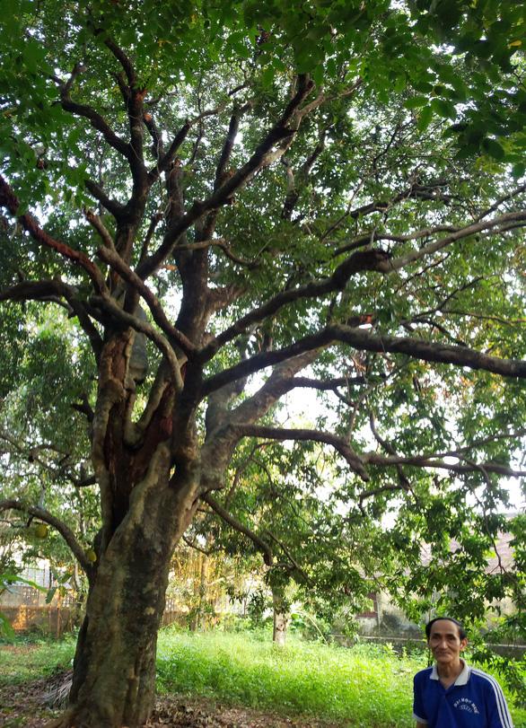 Chuyện chưa kể về cây trái cố đô Huế - Kỳ 2: Danh thơm vải trạng - Ảnh 3.