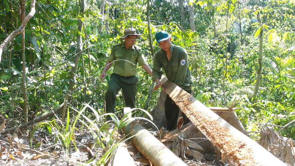 'Lâm tặc mở đường giữa rừng đốn gỗ': Bắt 2 nghi phạm - Ảnh 1.
