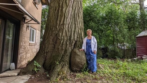 Canada tìm cách cứu cây sồi 300 tuổi già hơn cả nước này - Ảnh 4.