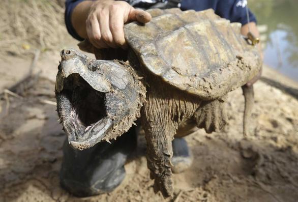 Bí ẩn loài rùa có cú cắn mạnh gấp 6 lần cá mập - Ảnh 1.