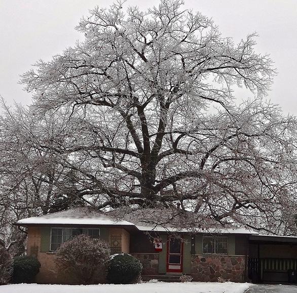 Canada tìm cách cứu cây sồi 300 tuổi già hơn cả nước này - Ảnh 3.