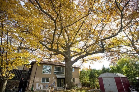 Canada tìm cách cứu cây sồi 300 tuổi già hơn cả nước này - Ảnh 1.