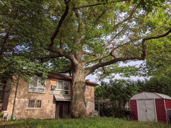 Canada tìm cách cứu cây sồi 300 tuổi già hơn cả nước này - Ảnh 2.