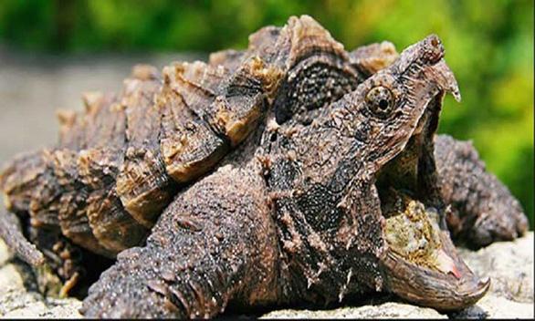 Bí ẩn loài rùa có cú cắn mạnh gấp 6 lần cá mập - Ảnh 2.