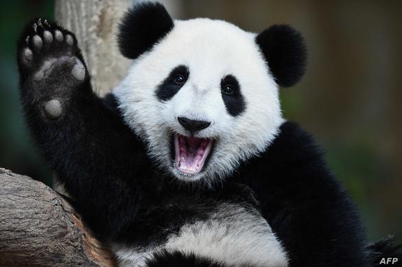 Lo cứu gấu trúc, Trung Quốc bỏ lơ loài khác - Ảnh 2.