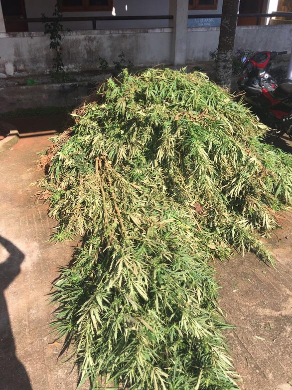 Trồng cà phê lại còn thâm canh hàng trăm cây cần sa - Ảnh 2.