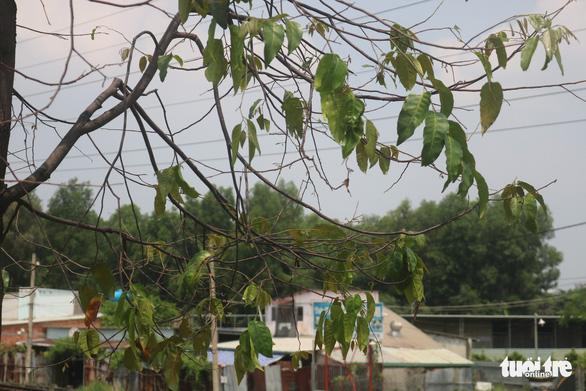Bà con vui bụng dạ khi thấy hàng cây xanh đường Phạm Văn Đồng hồi sinh - Ảnh 2.