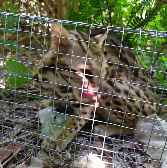 Kiểm tra vụ nghi bắt mèo rừng rồi đăng Facebook rao bán - Ảnh 1.