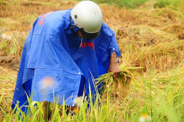 Nông dân hối hả gặt lúa sớm, phố cổ đốn bớt cây tránh bão - Ảnh 1.