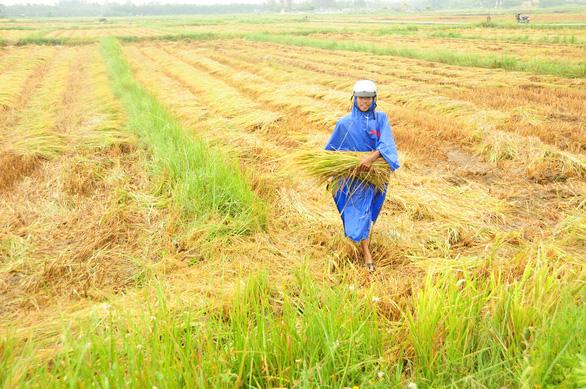 Nông dân hối hả gặt lúa sớm, phố cổ đốn bớt cây tránh bão - Ảnh 2.