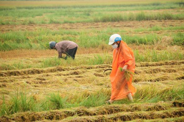 Nông dân hối hả gặt lúa sớm, phố cổ đốn bớt cây tránh bão - Ảnh 3.