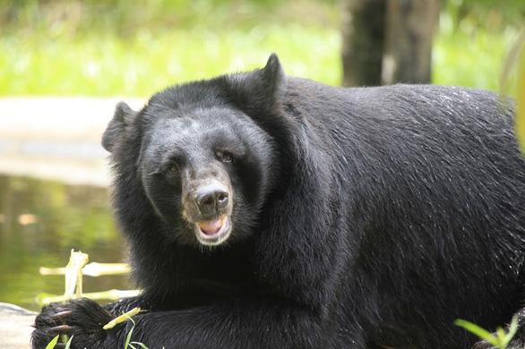 Vinpearl Safari hồi sinh cho gấu ngựa - Ảnh 3.