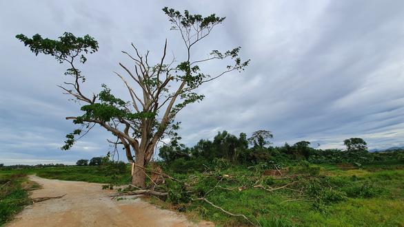 Cây Mắt biếc ở Huế trơ trụi sau bão số 5 - Ảnh 1.