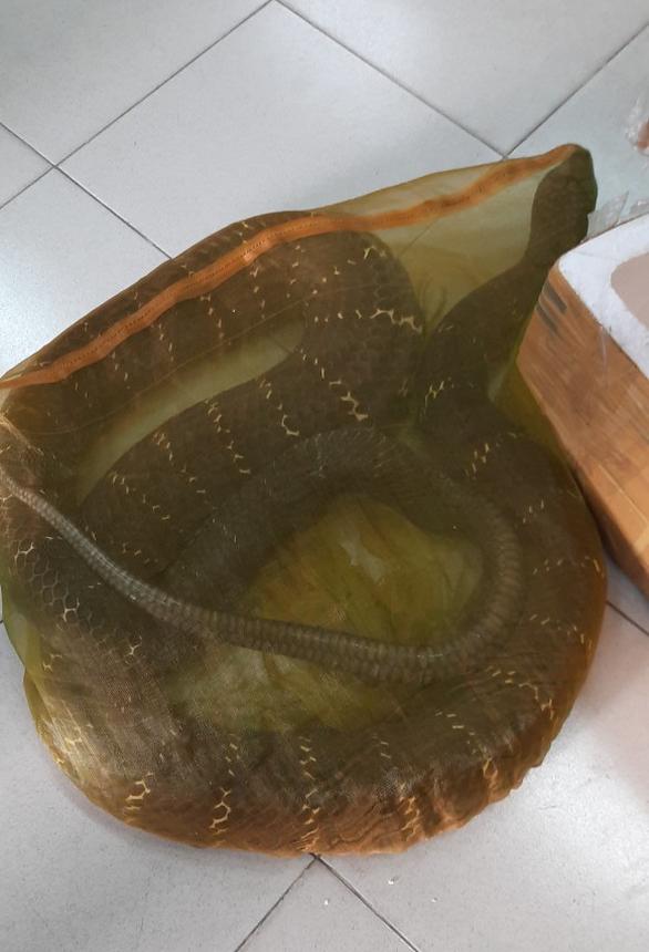 Chở rắn hổ chúa khủng nặng 20kg đi giao, người đàn ông bị công an tạm giữ - Ảnh 2.