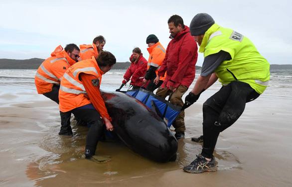 Úc an tử cá voi mắc cạn, tìm cách xử trí gần 400 xác cá chết - Ảnh 4.