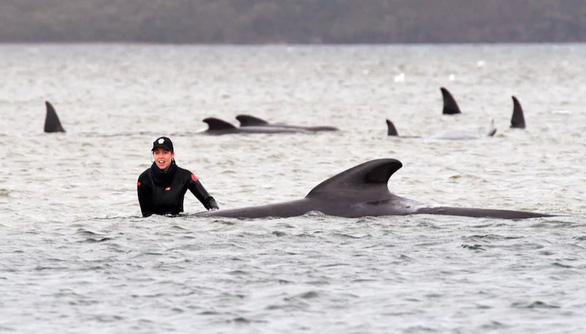 Úc an tử cá voi mắc cạn, tìm cách xử trí gần 400 xác cá chết - Ảnh 1.