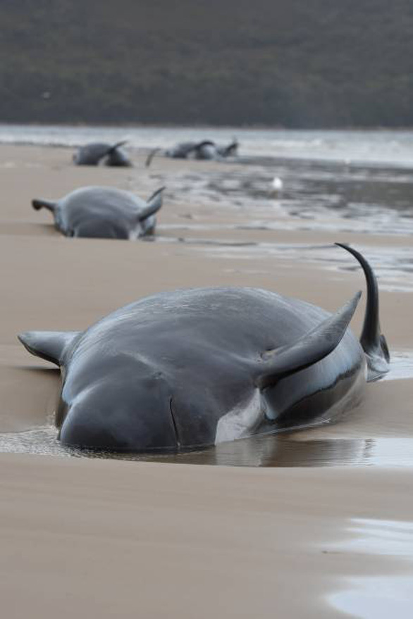 Úc an tử cá voi mắc cạn, tìm cách xử trí gần 400 xác cá chết - Ảnh 5.