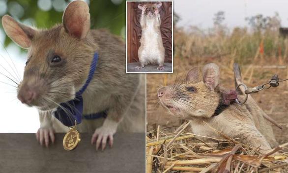 Chuột được trao huy chương vàng nhờ thành tích dò mìn - Ảnh 2.