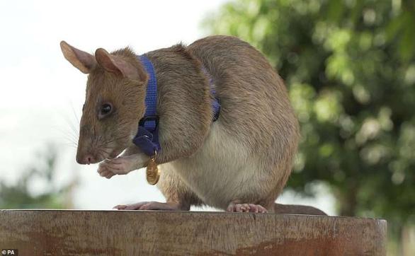 Chuột được trao huy chương vàng nhờ thành tích dò mìn - Ảnh 1.