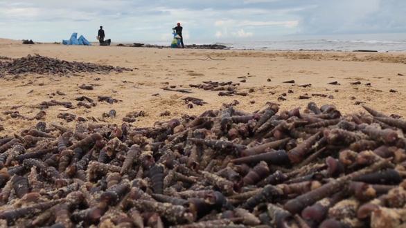 Hàng tấn ốc dạt bờ ở Quảng Bình có thể do bão số 5 - Ảnh 1.