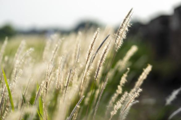 Lãng mạn mùa cỏ tranh xứ Huế - Ảnh 4.