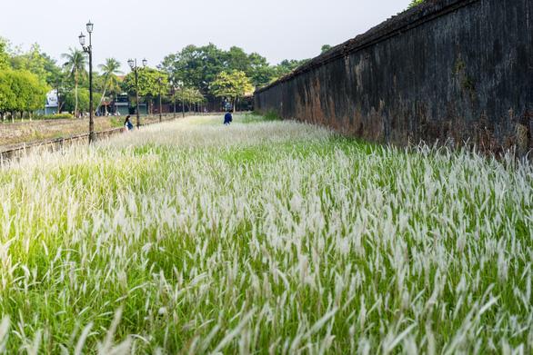 Lãng mạn mùa cỏ tranh xứ Huế - Ảnh 7.