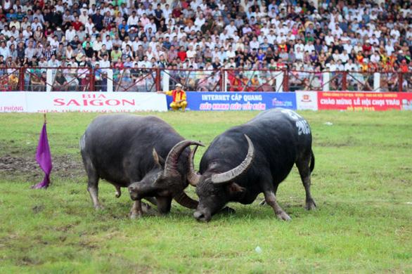 Lễ hội chọi trâu Đồ Sơn 2020 phải tạm dừng vì dịch COVID-19 - Ảnh 1.