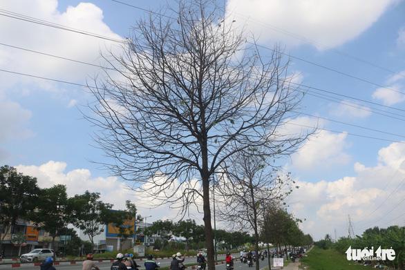 TP.HCM: Sâu ăn lá khiến hàng loạt cây xanh trơ trụi chỉ sau một đêm - Ảnh 2.