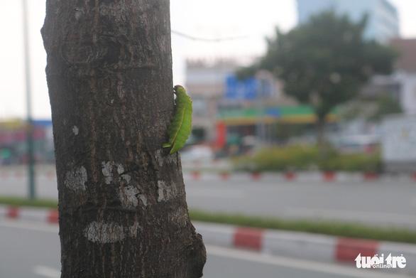 TP.HCM: Sâu ăn lá khiến hàng loạt cây xanh trơ trụi chỉ sau một đêm - Ảnh 3.