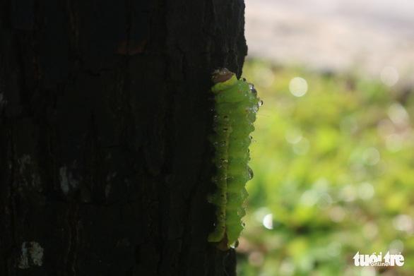 Phun thuốc sinh học cứu cây xanh tại TP.HCM bị sâu ăn lá tấn công - Ảnh 8.
