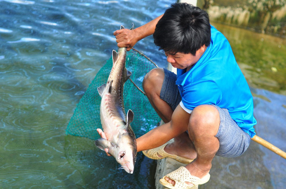 Cá tầm Trung Quốc giá rẻ tràn vào Việt Nam, người nuôi cá trong nước lao đao - Ảnh 1.