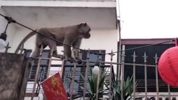 Xuất hiện đàn khỉ hơn chục con đại náo khu dân cư, dân tự chế lồng để bẫy - Ảnh 4.