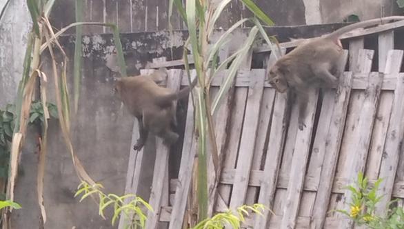 Xuất hiện đàn khỉ hơn chục con đại náo khu dân cư, dân tự chế lồng để bẫy - Ảnh 6.