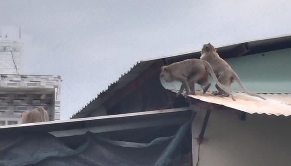 Xuất hiện đàn khỉ hơn chục con đại náo khu dân cư, dân tự chế lồng để bẫy - Ảnh 5.