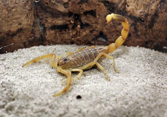 Nọc độc bọ cạp là chất lỏng đắt nhất thế giới - Ảnh 1.