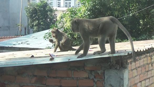 Dự kiến gây mê để bắt đàn khỉ đại náo khu dân cư ở quận 12 - Ảnh 3.