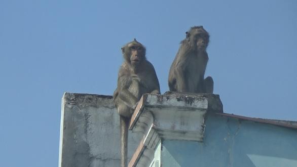 Dự kiến gây mê để bắt đàn khỉ đại náo khu dân cư ở quận 12 - Ảnh 4.