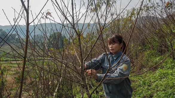 Sẽ dán tem cho đào rừng trồng? - Ảnh 1.