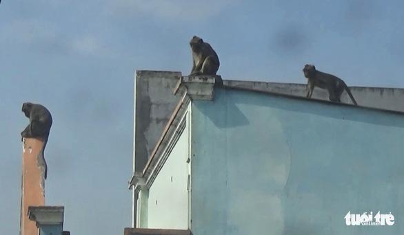 Đàn khỉ đại náo khu dân cư: Đã gây mê, đưa về trạm cứu hộ 2 con khỉ - Ảnh 4.