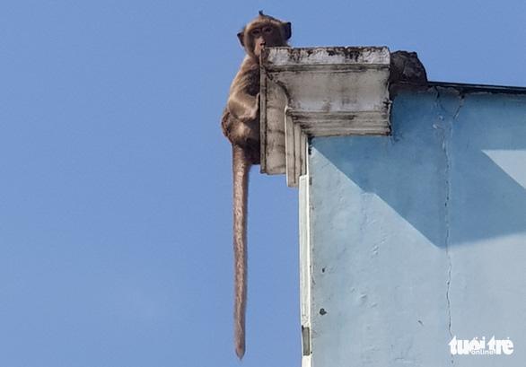 Đàn khỉ đại náo khu dân cư: Đã gây mê, đưa về trạm cứu hộ 2 con khỉ - Ảnh 5.