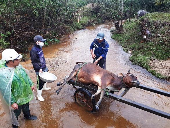 Một huyện có 900 trâu bò chết rét, bà con lo mất tết - Ảnh 1.
