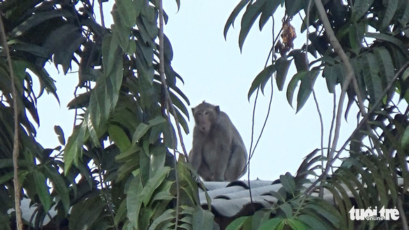 Người dân TP.HCM nơi đàn khỉ đại náo: Mong chúng được đoàn tụ nơi rừng xanh - Ảnh 1.