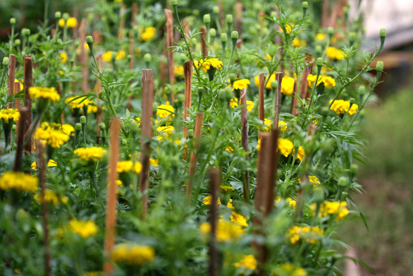 Tết xưa - Tết nay: Vạn thọ ngày tết, hoa của đoàn viên - Ảnh 4.