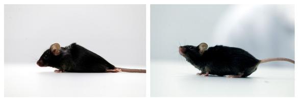 Nghiên cứu mới giúp chuột bị liệt đi lại được, mở ra hi vọng cho người - Ảnh 1.