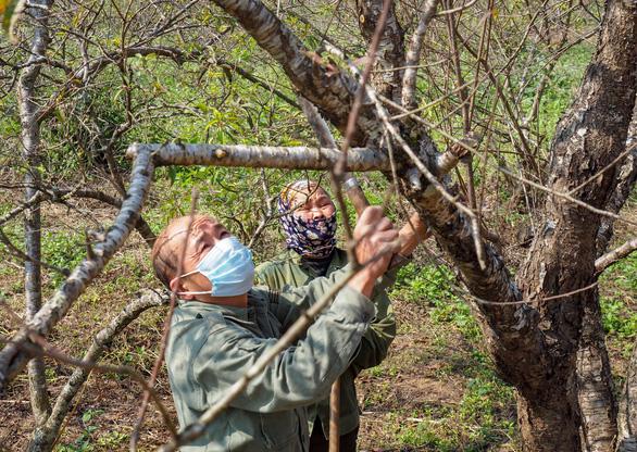 Bộ trưởng Mai Tiến Dũng: Không cấm bán đào rừng người dân trồng - Ảnh 1.