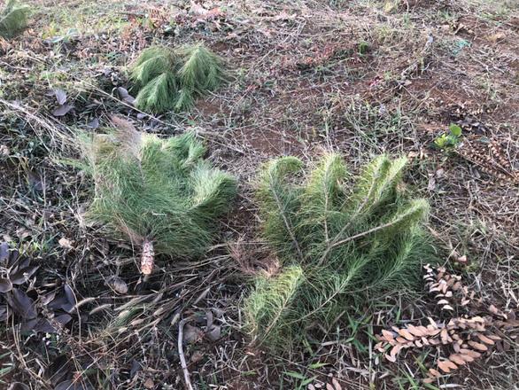 Thông non vừa trồng sau khi bị đầu độc ven quốc lộ 14 lại bị chặt phá - Ảnh 1.
